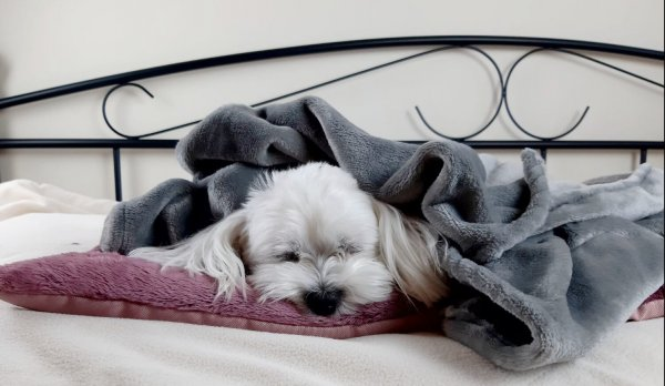 śpiacy pies przkryty kocykiem lovedog