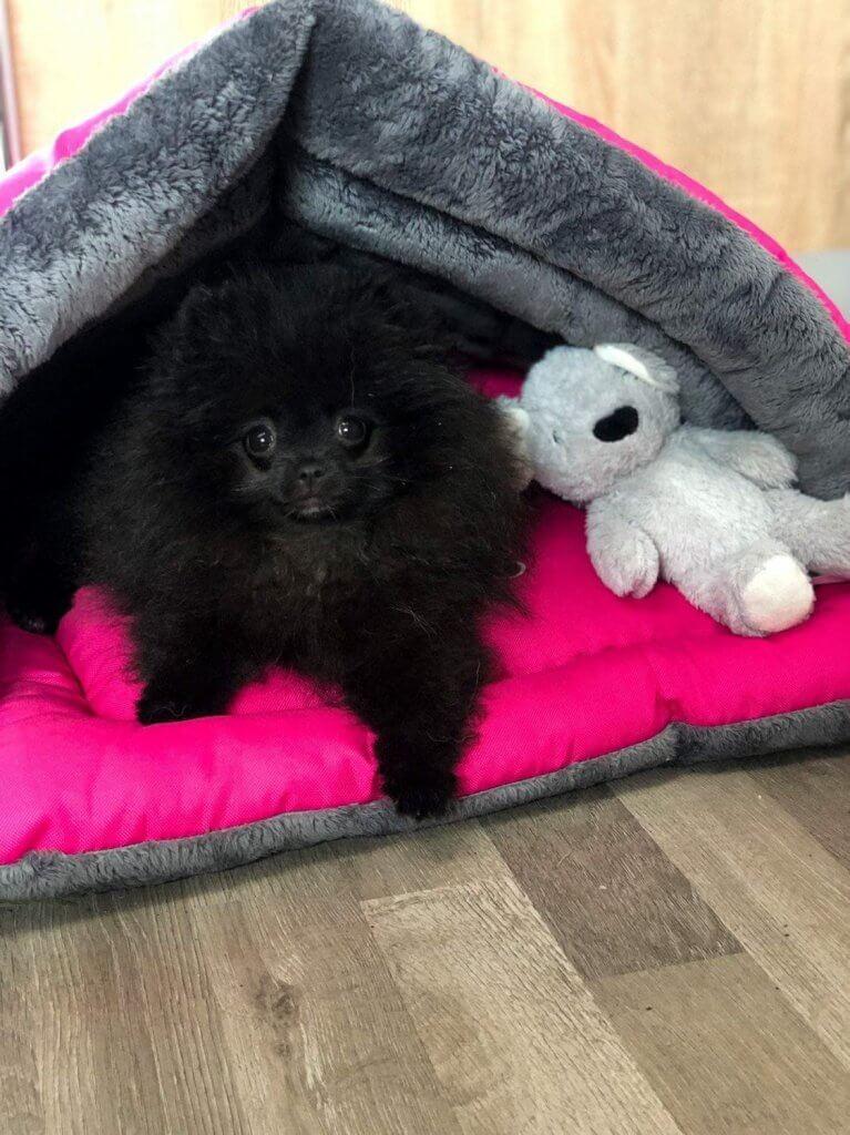 pies szpic miniaturowy czarny szczeniak